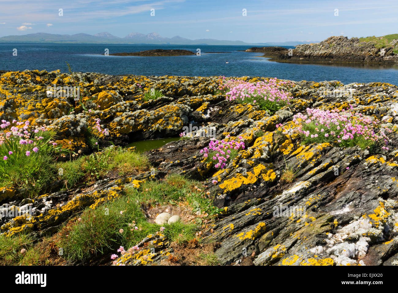 goose eggs and nest on shore with thrift gigha southern hebrides Stock Photo