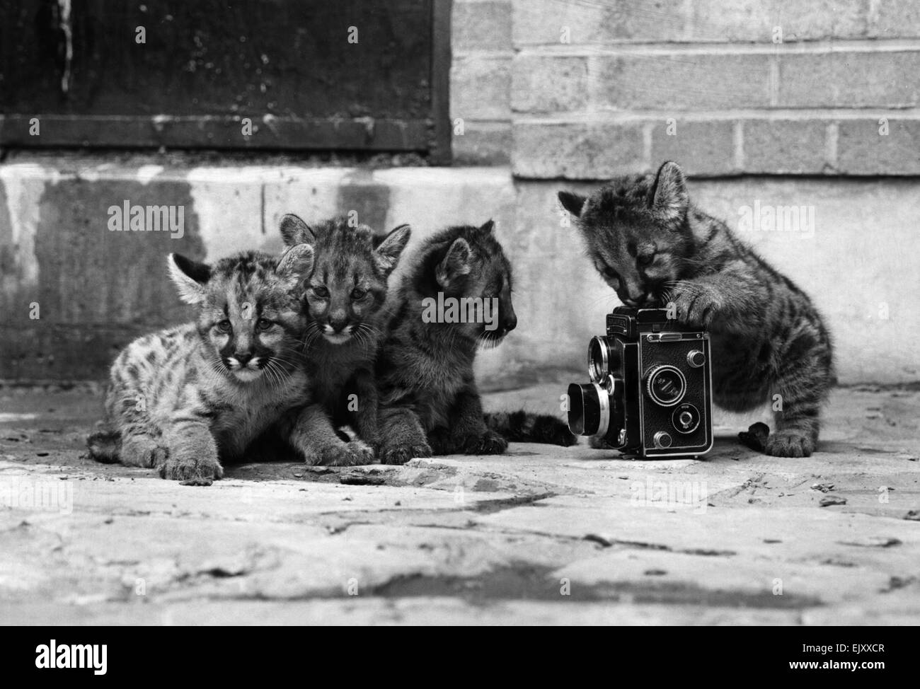 Puma cubs at Calder Park Zoo, one with a camera. 11th July 1973. - Stock Image
