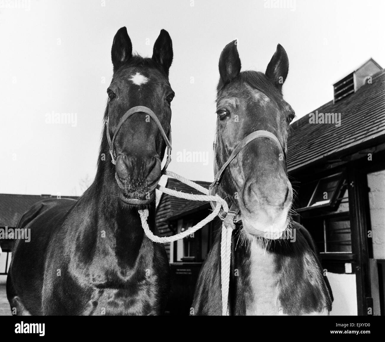 Racehorse Golden Miller at his stables with another horse. Circa 1952. - Stock Image