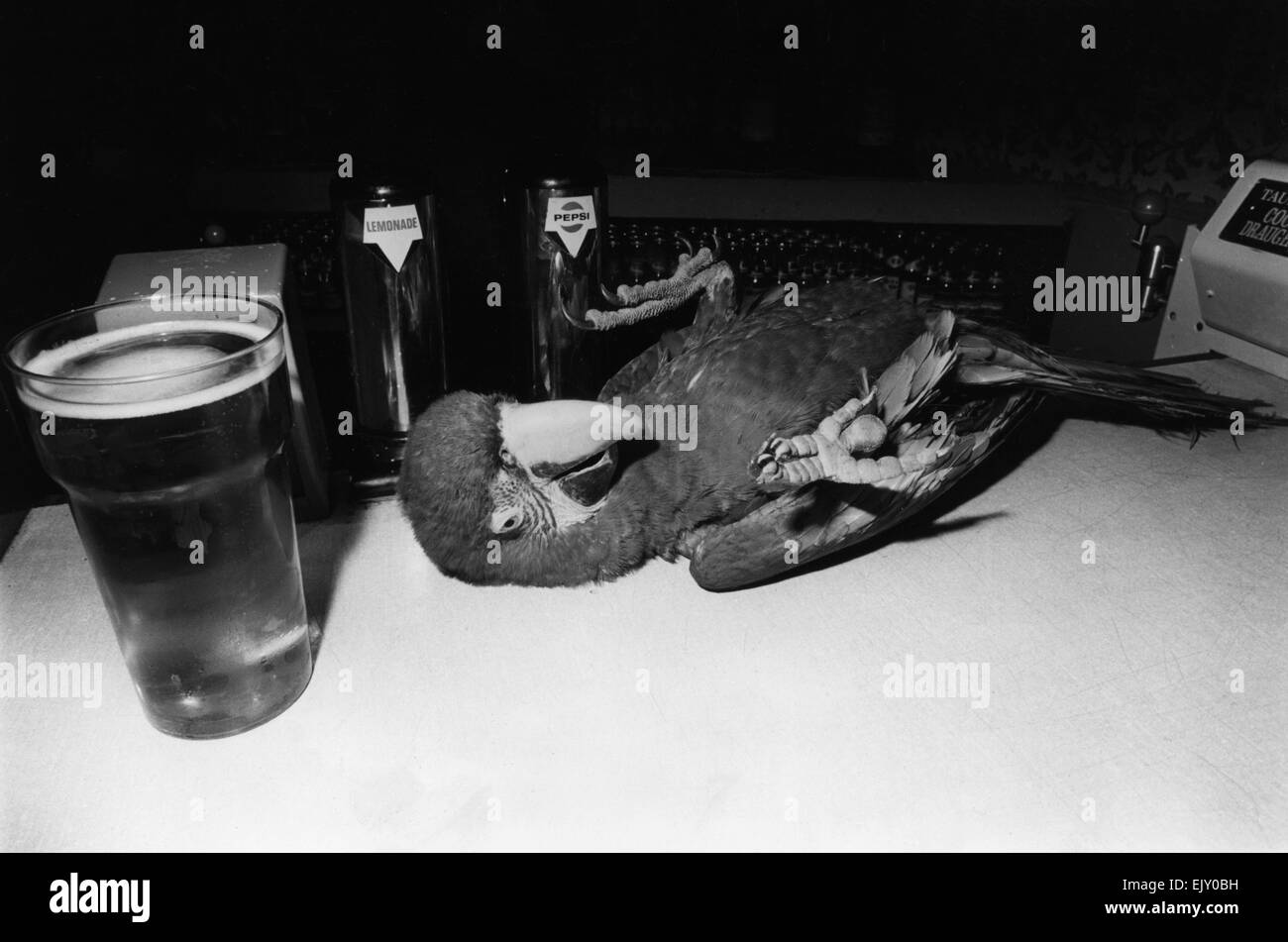 Pierre the drunken Macaw slips over on the bar after one to many beak-fulls of beer. 23rd July 1972. - Stock Image