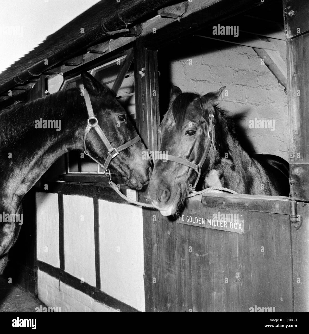 Racehorse Golden Miller at his stables. c.1952. - Stock Image