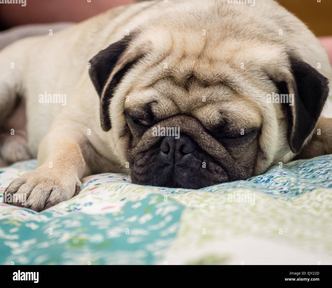 A Pug dog sleeping on a bed - Stock Image