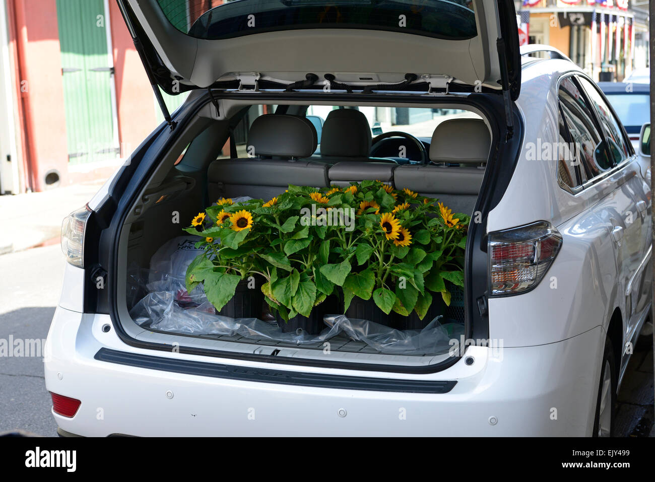 sunflowers flowers yellow flower deliver delivery trunk boot car garden gardening supply supplies RM Floral - Stock Image