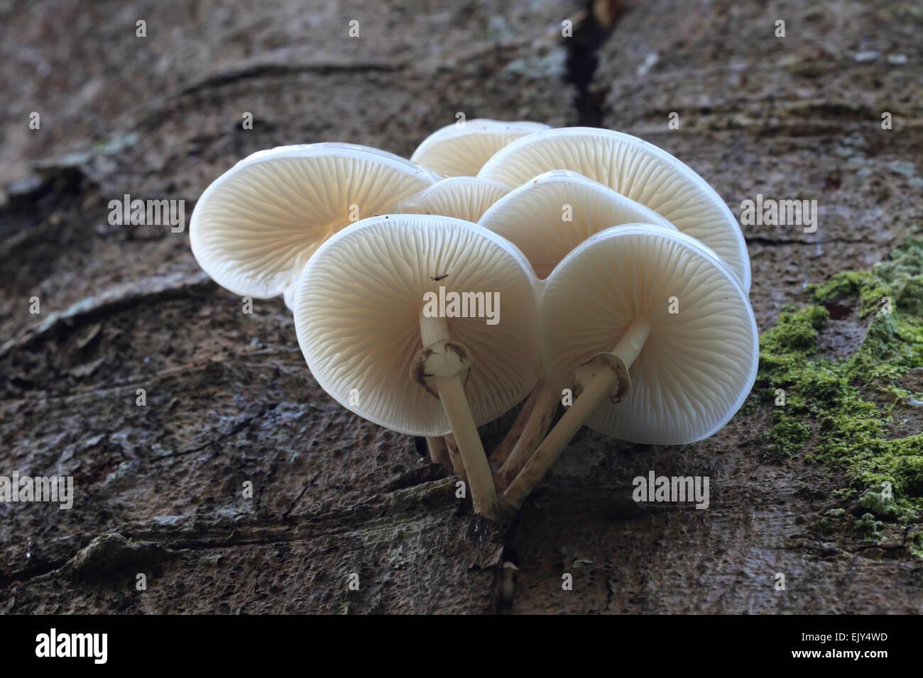 Porcelain Fungus captured in Porcelain Fungus, Lanthwaite Wood, Lake District - Stock Image