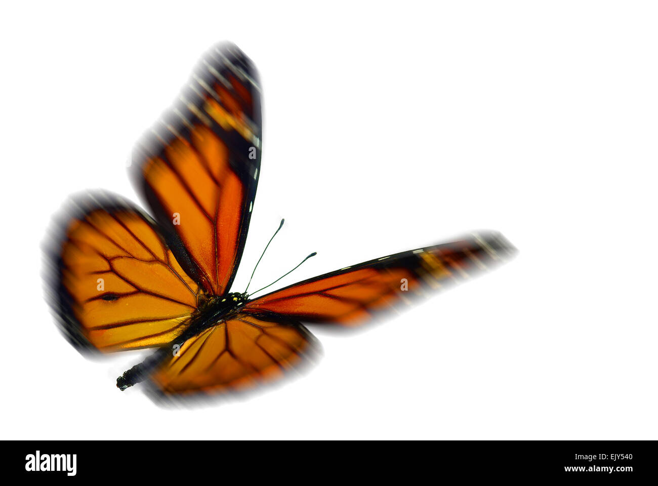 Monarch (Danaus plexippus), a migrant butterfly, flying with motion blur - Stock Image