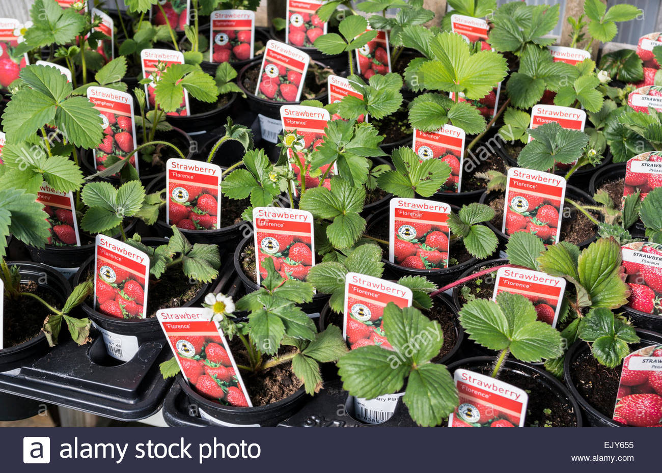 Strawberry Plants On Sale At A Garden Centre UK Varieties Are Florence And Symphony