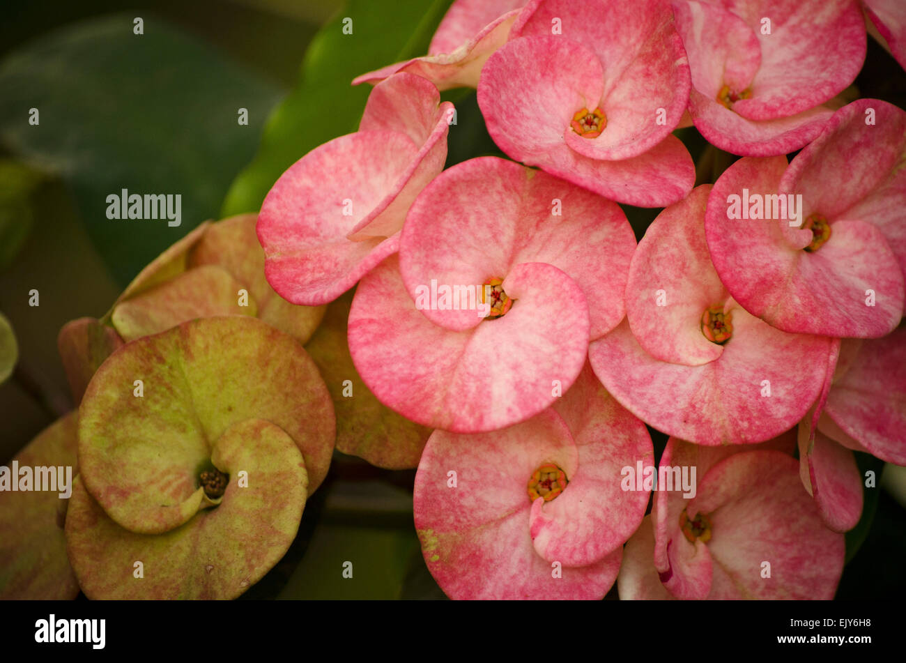 Flowers of tamil nadu stock photos flowers of tamil nadu stock yellow and pink euphorbia flower in a garden at chennaitamil naduindia izmirmasajfo