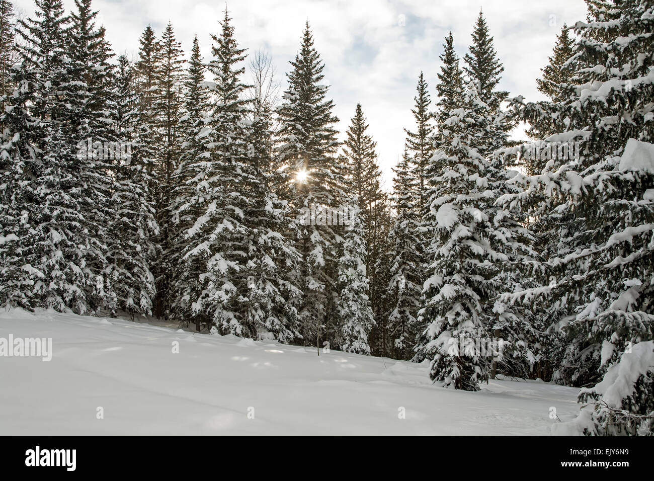 Snow covered pine trees and sunburst santa fe national - Images of pine trees in snow ...
