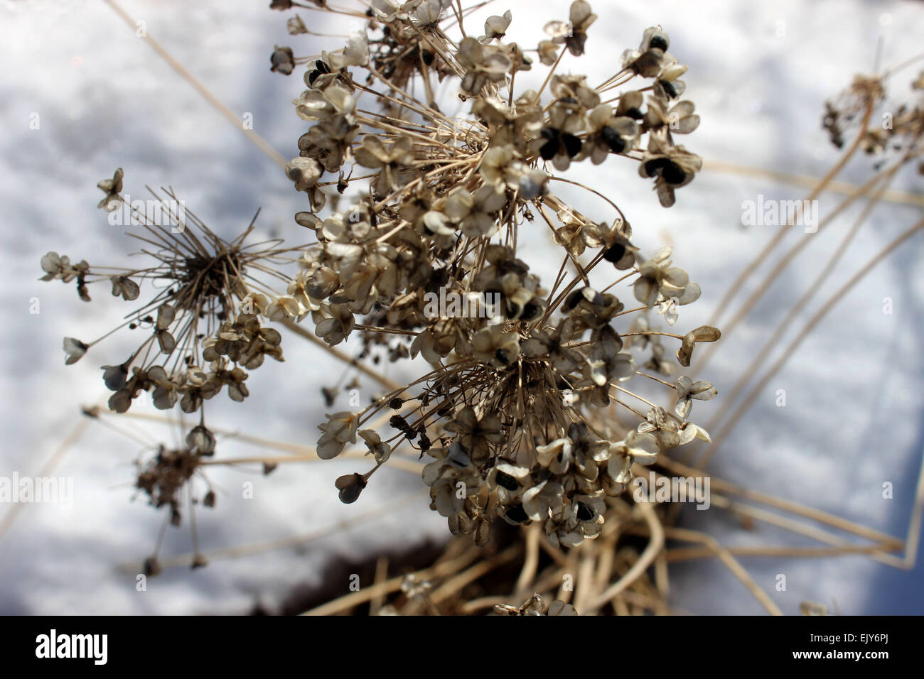 Photographic detail of a flowering plant that survive the Canadian winter growing on snow - Stock Image