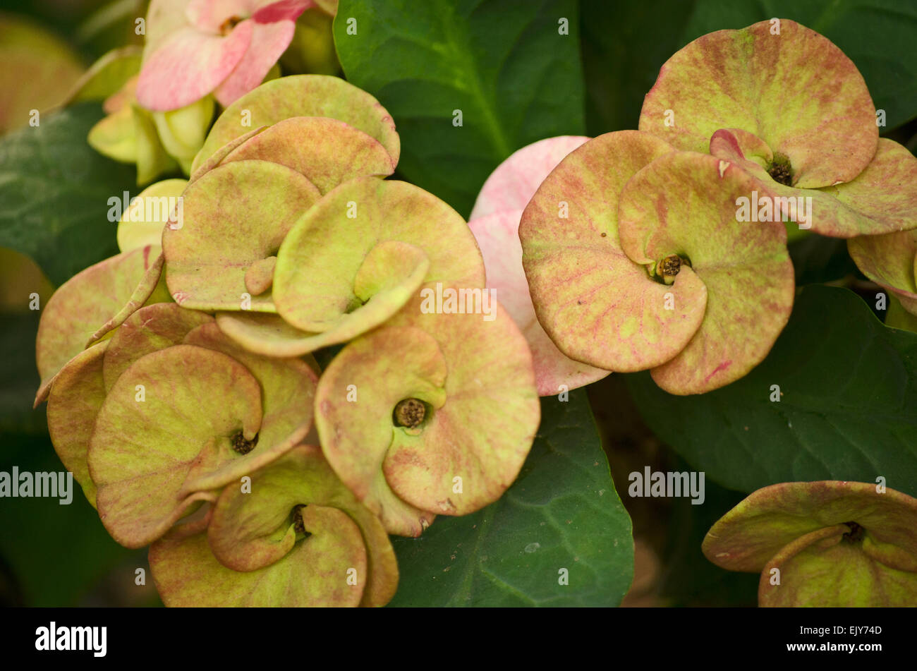 Yellow And Pink Euphorbia Flower In A Garden At Chennaitamil Stock