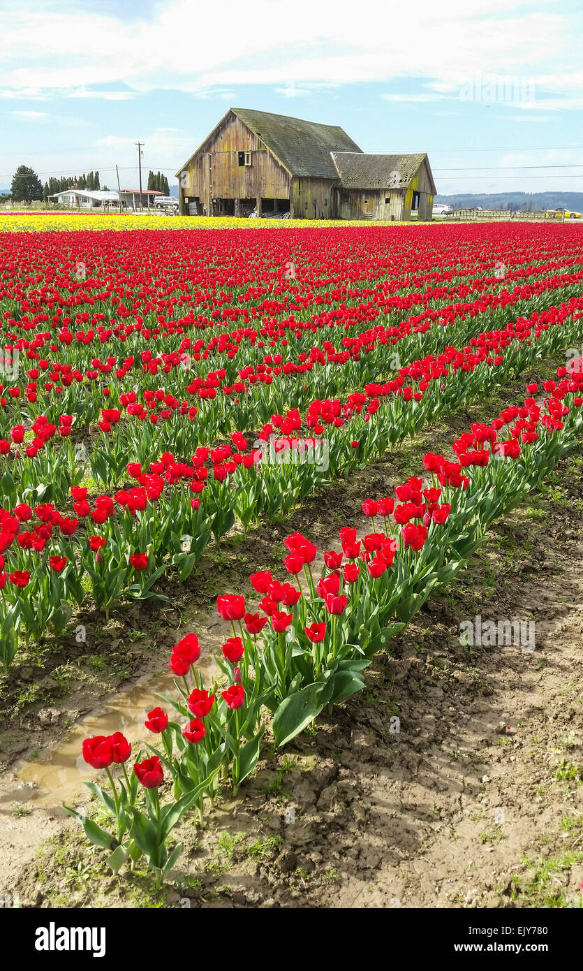 Field of red tulips during Skagit Valley Tulip Festival with barn in background. Stock Photo