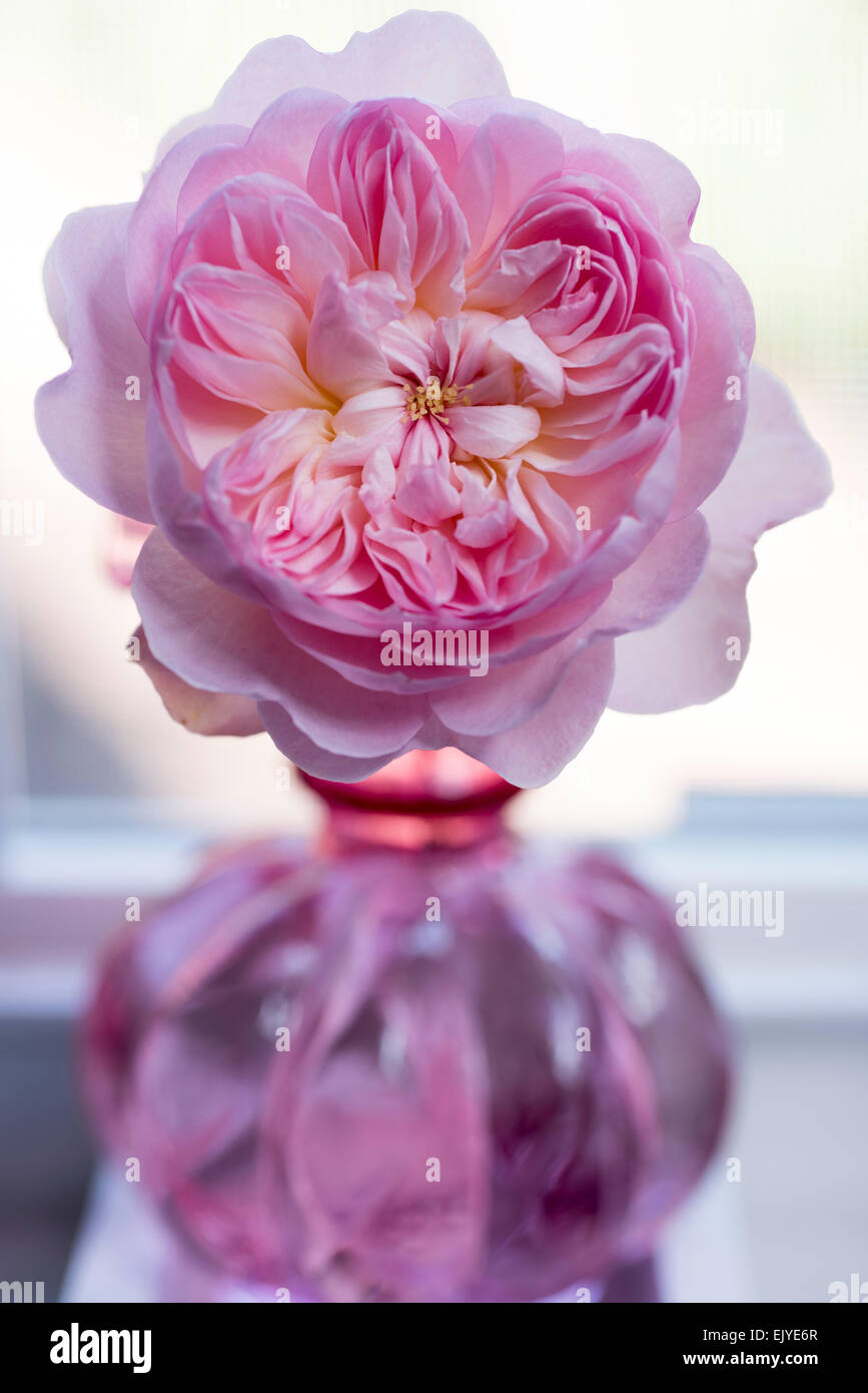 Rosa Gentle Hermione, David Austin English Rose - Stock Image