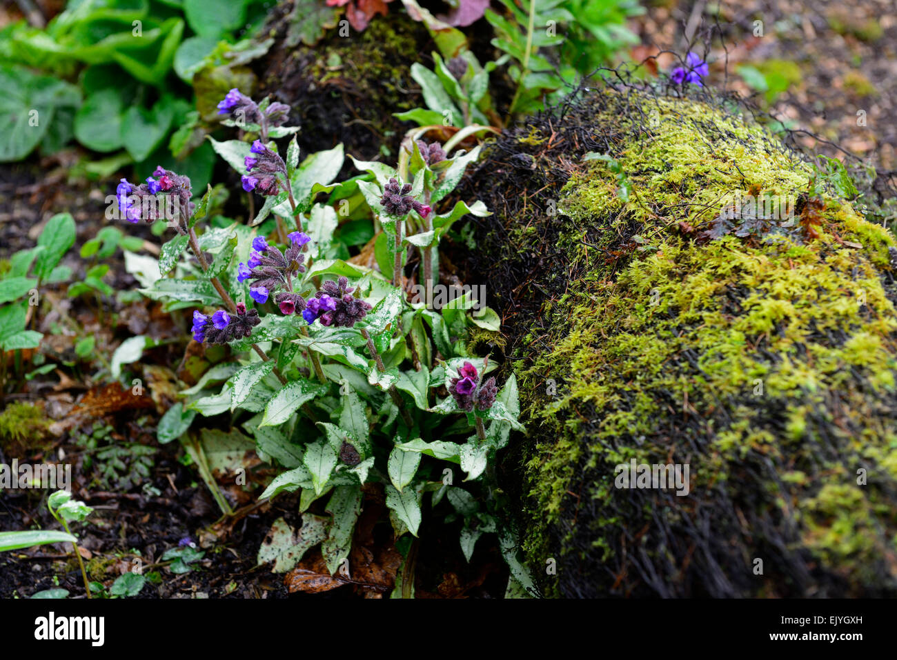 Pulmonaria longifolia Bertrum Anderson lungwort purple flowers variegated foliage spring wood woodland shady RM - Stock Image