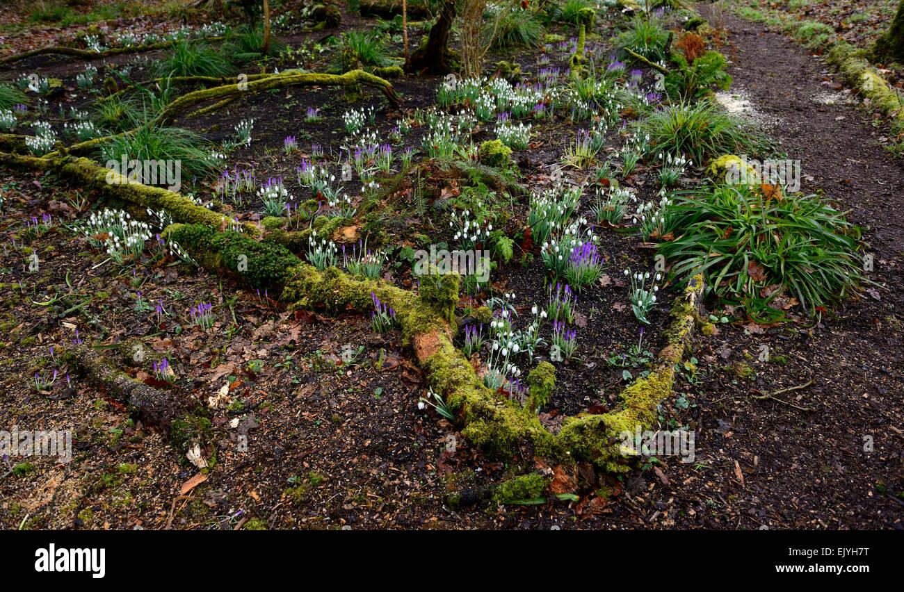 Spring flowers Snowdrops crocus crocuses Hunting Brook gardens Stock ...