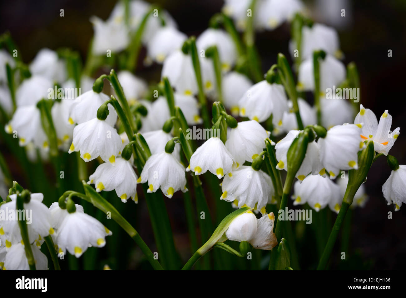Spring snowflake flowers stock photos spring snowflake flowers leucojum vernum spring snowflake flowers flower clump forming white bloom blossom bell shaped shape rm floral mightylinksfo