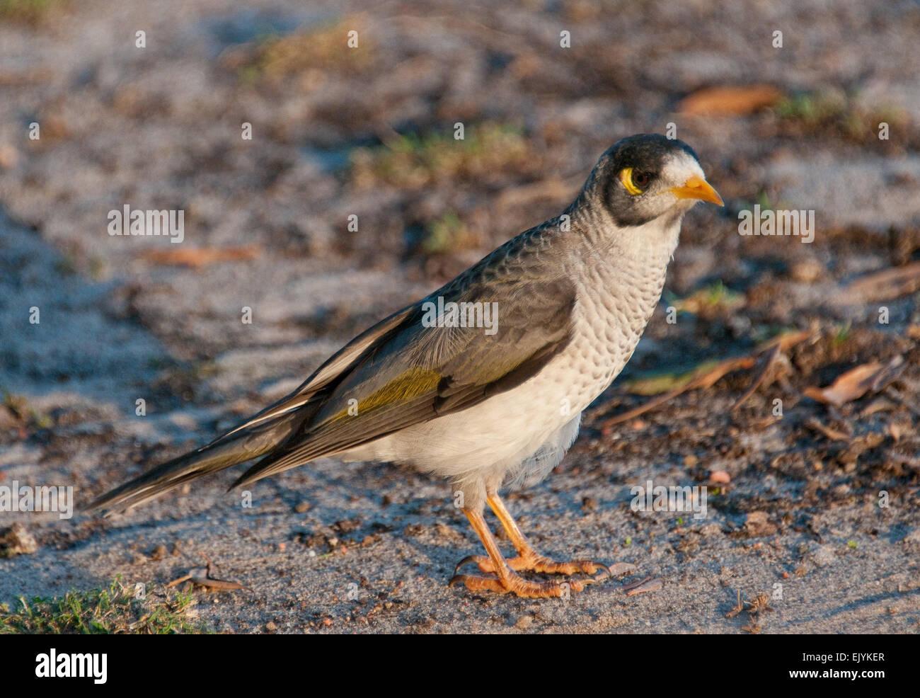 Noisy Miner (Manorina melanocephala) - Stock Image