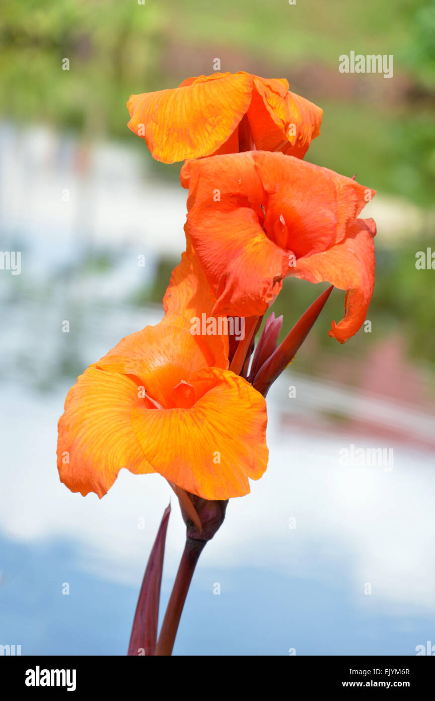 Orange Kana Flowers Canna Lily Or Canna Indica On Natural Stock