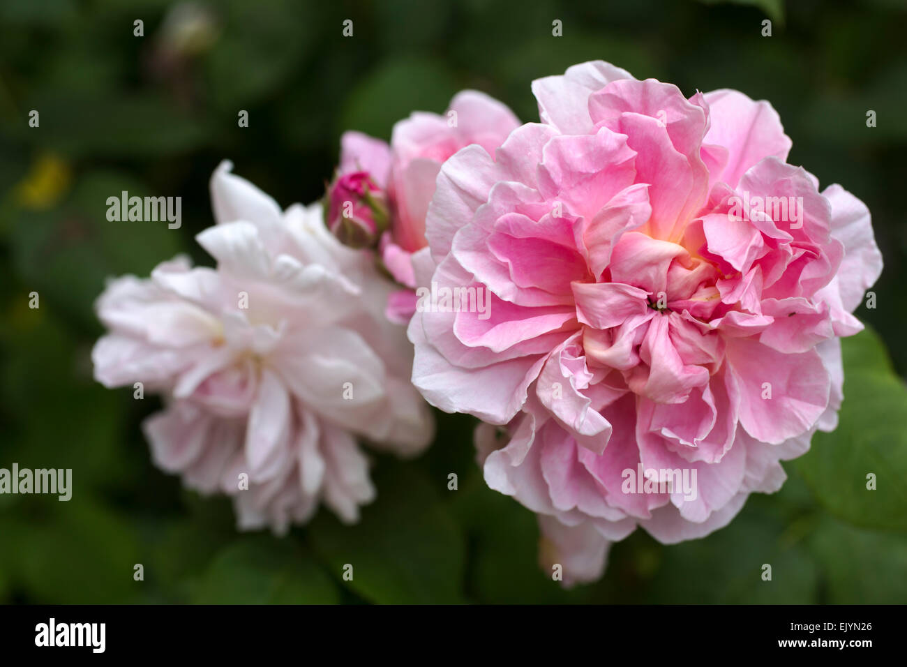 Fabulous Rosa Cottage Rose Shrub Rose David Austin English Rose Interior Design Ideas Tzicisoteloinfo