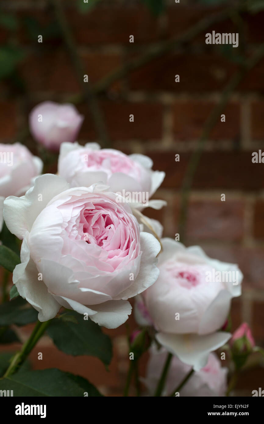 Fine Rosa Cottage Rose Shrub Rose David Austin English Rose Interior Design Ideas Tzicisoteloinfo