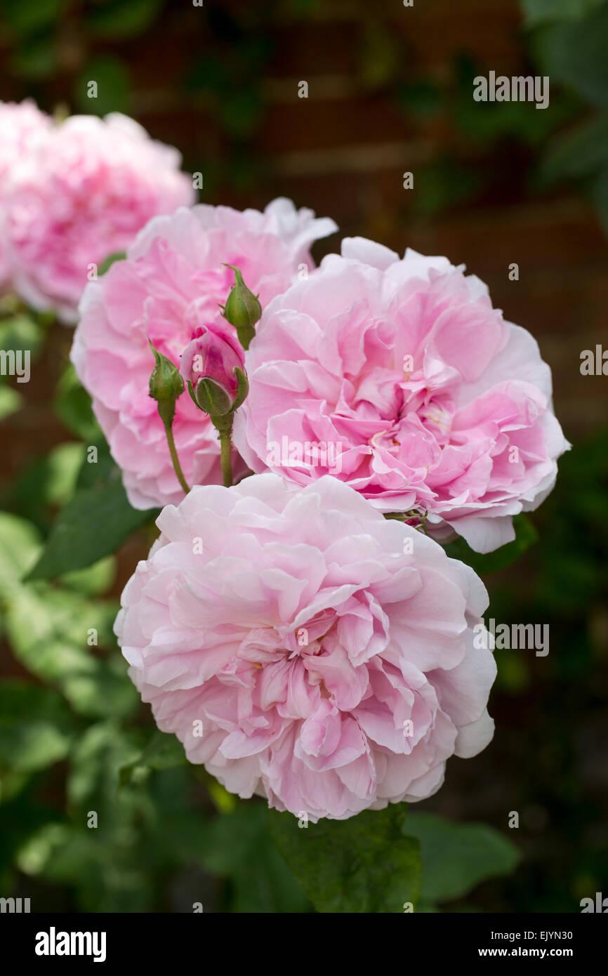 Incredible Rosa Cottage Rose Shrub Rose David Austin English Rose Interior Design Ideas Tzicisoteloinfo