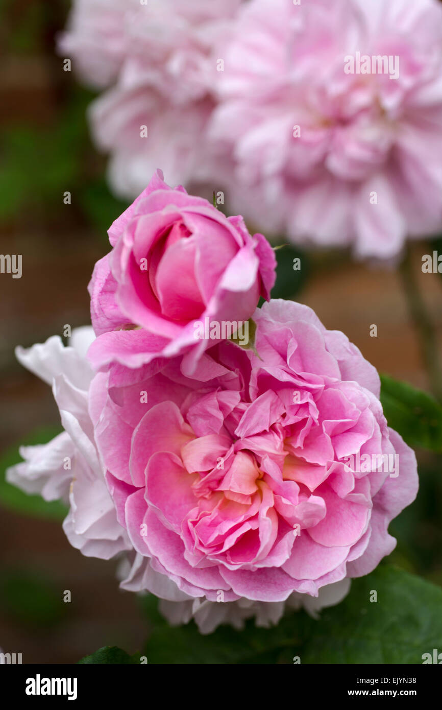 Astounding Rosa Cottage Rose Shrub Rose David Austin English Rose Download Free Architecture Designs Intelgarnamadebymaigaardcom