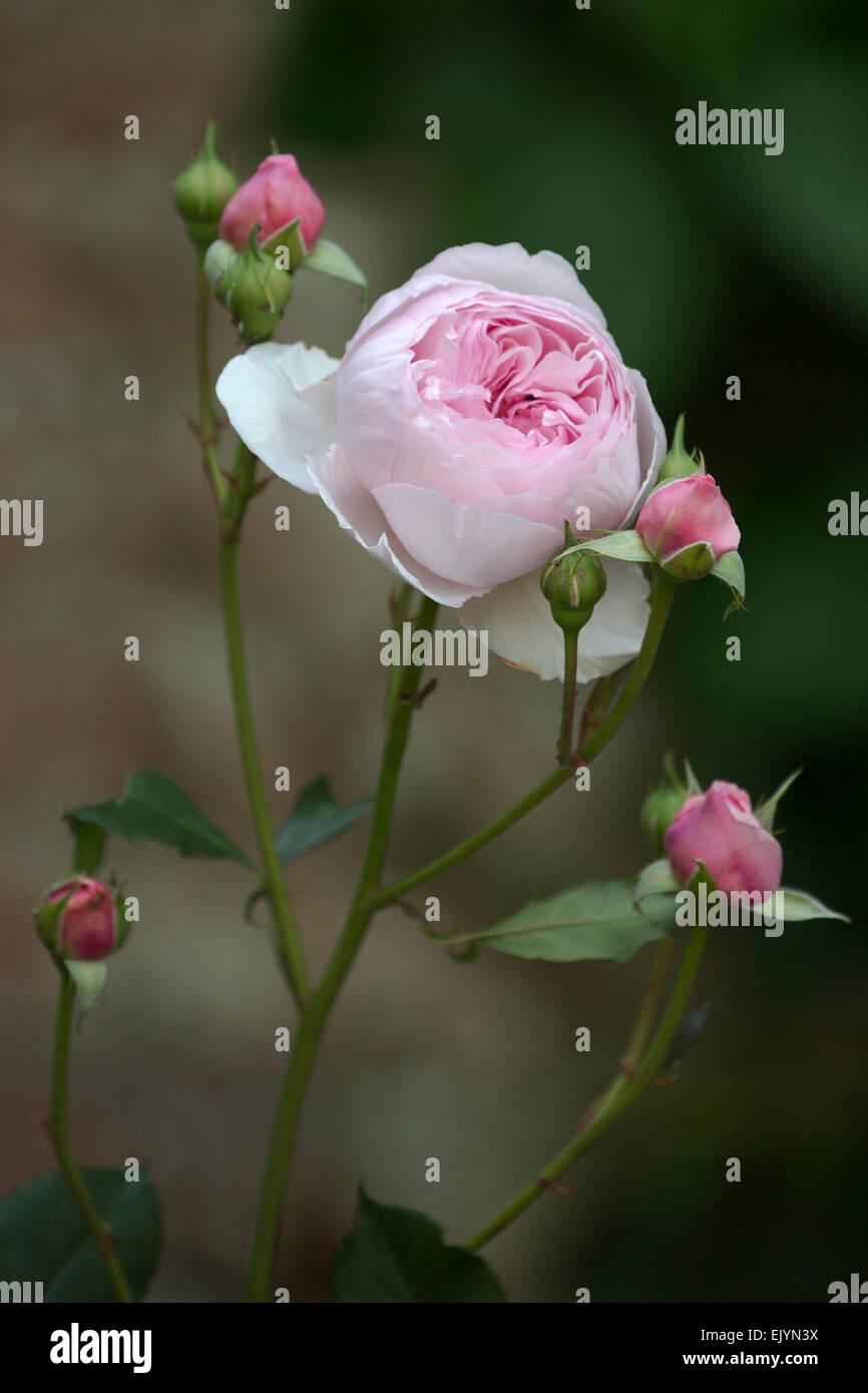 Tremendous Rosa Cottage Rose Shrub Rose David Austin English Rose Download Free Architecture Designs Intelgarnamadebymaigaardcom