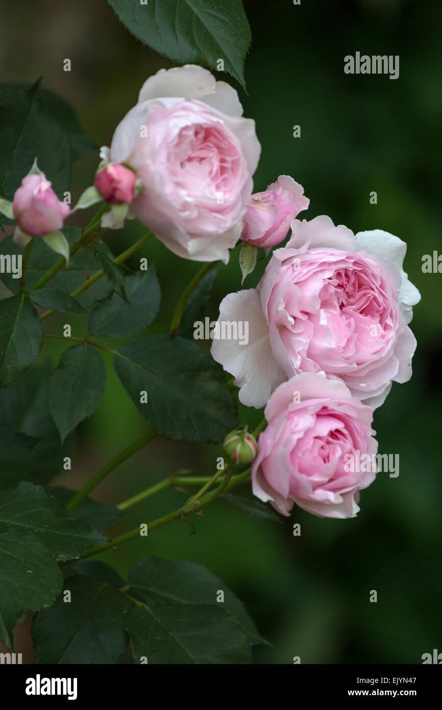 Tremendous Rosa Cottage Rose Shrub Rose David Austin English Rose Interior Design Ideas Tzicisoteloinfo