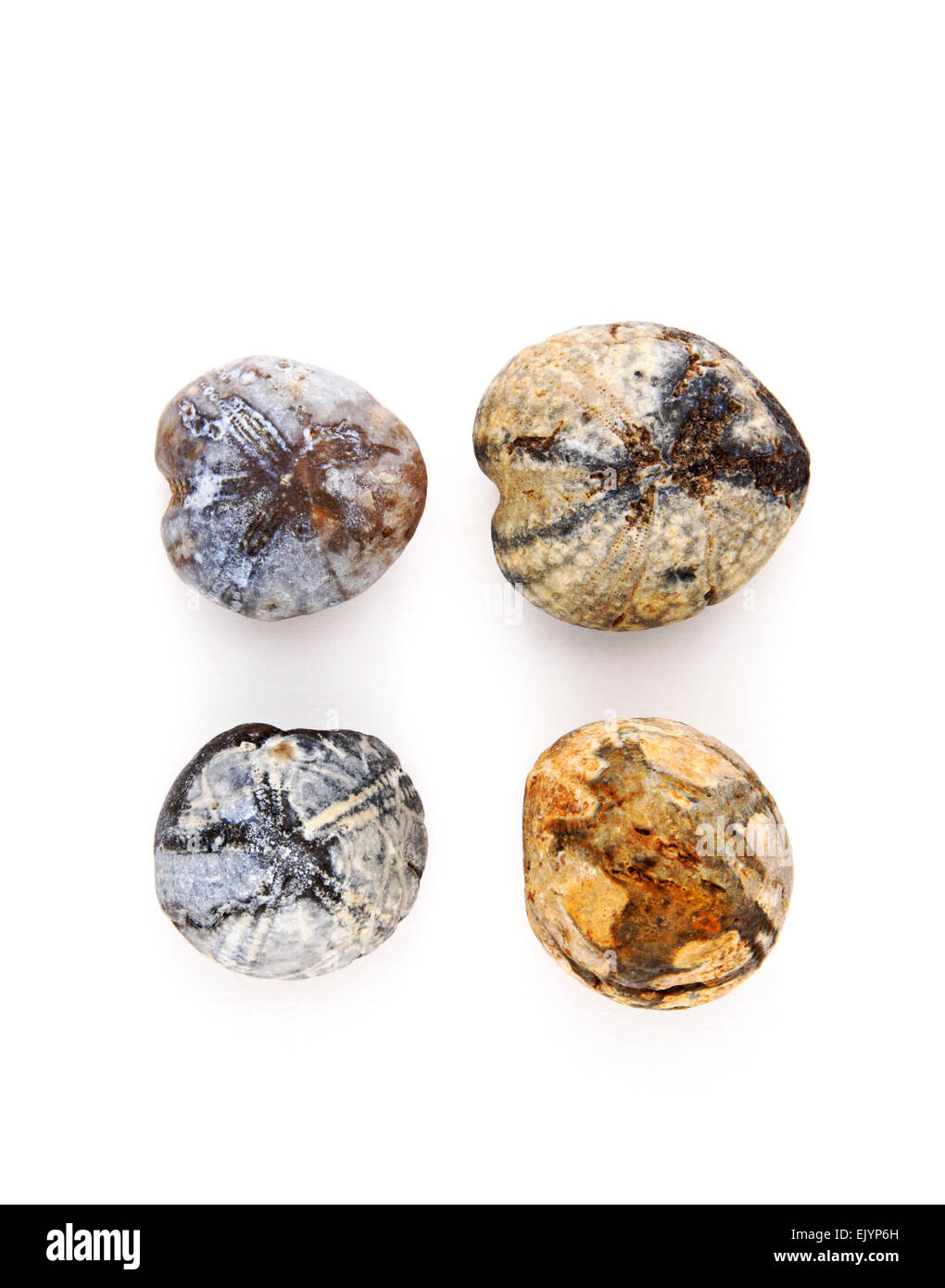 A selection of fossil sea urchins collected from beaches in East Norfolk, England, United Kingdom. - Stock Image