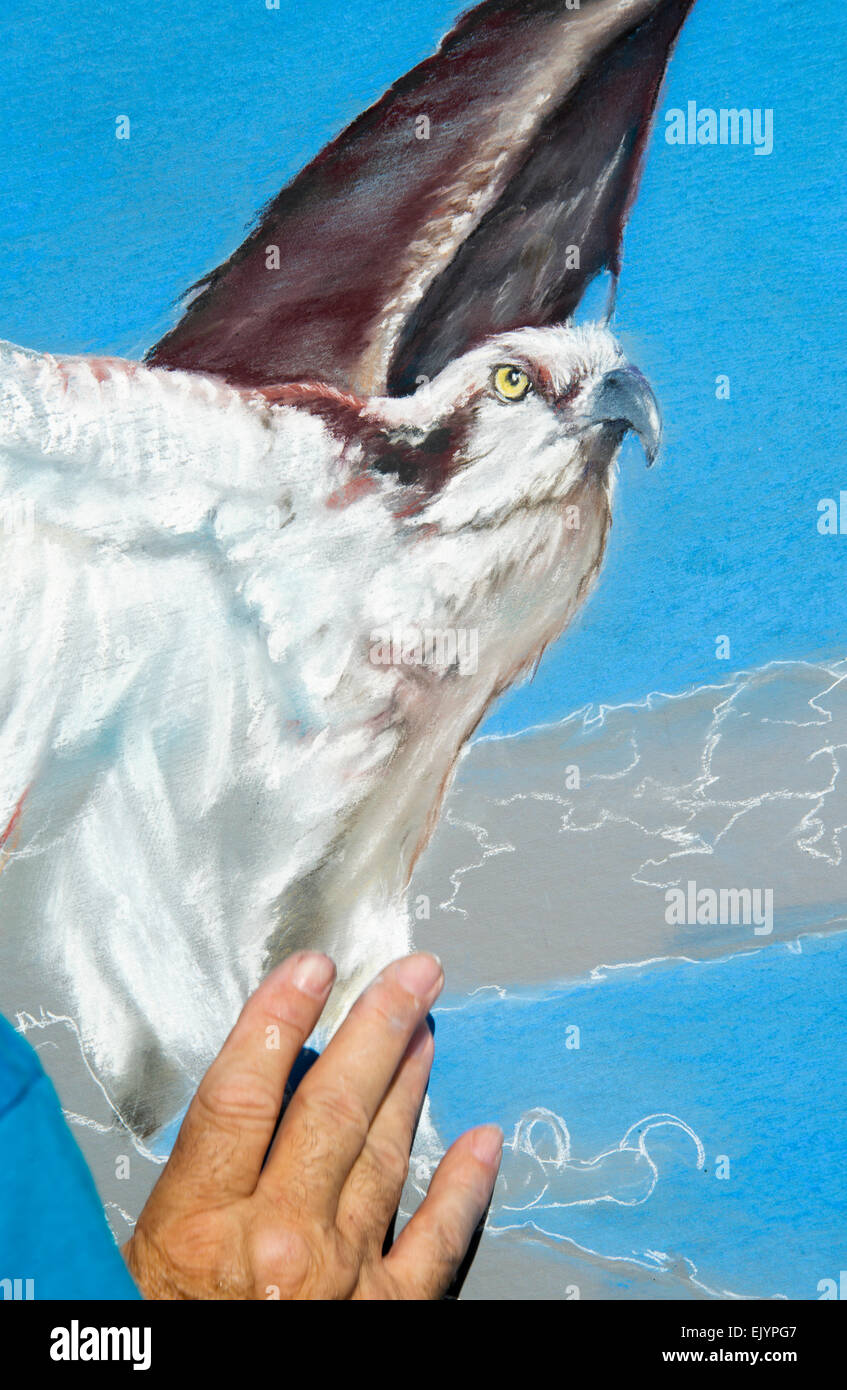 Artist At Work on chalk drawing of Osprey - Stock Image