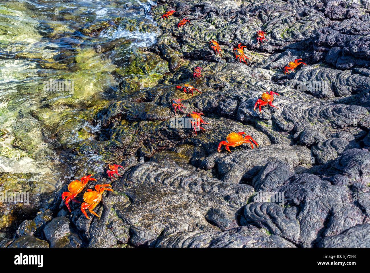 Lightfoot crabs on volcanic rock on Santiago Island in the Galapagos Islands in Ecuador - Stock Image