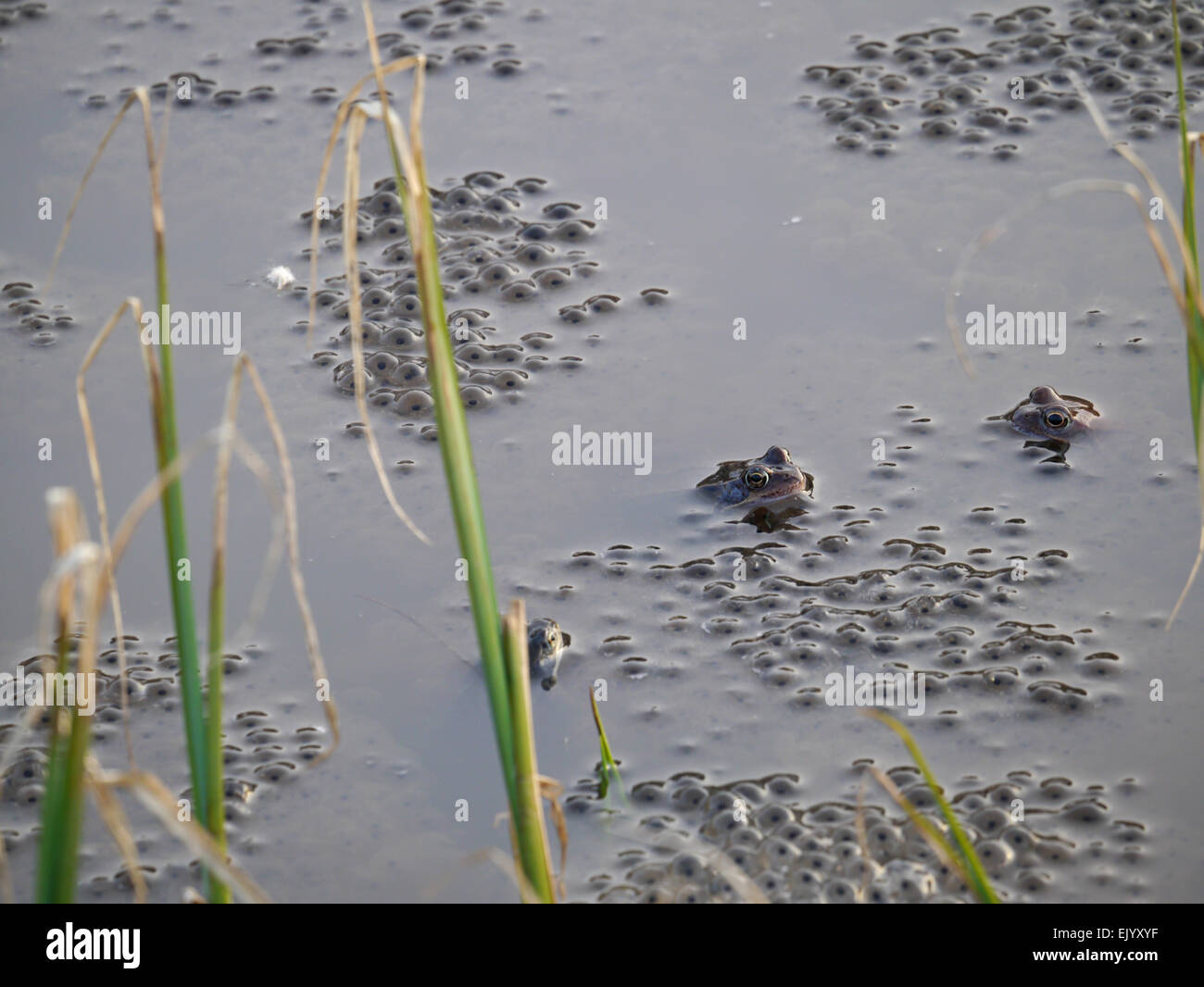 frog spawn, European common brown frog - Stock Image