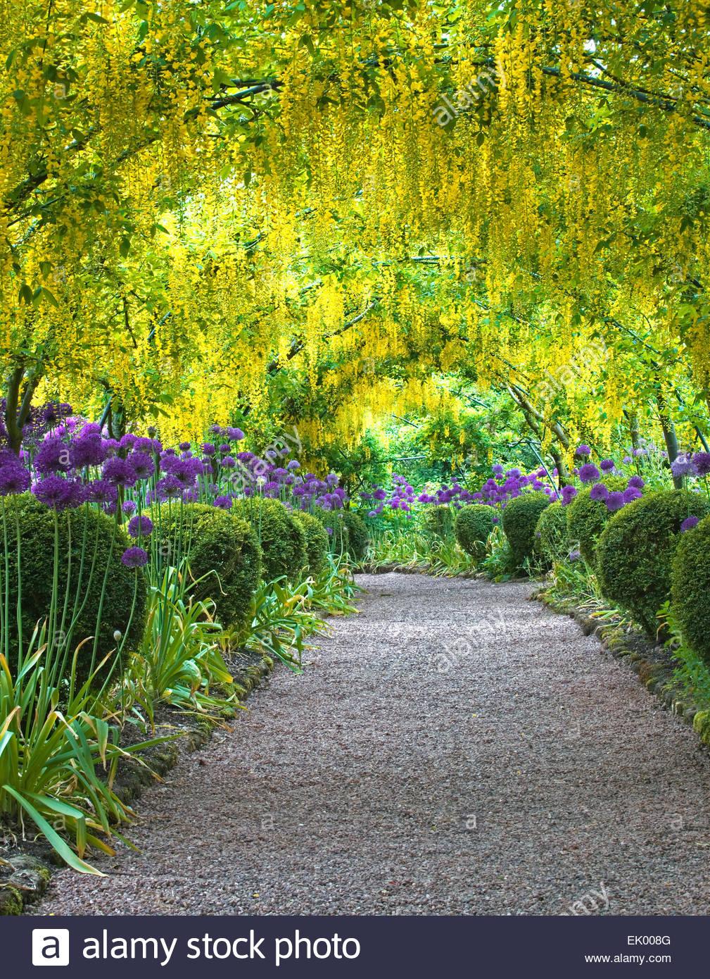 Laburnam arch with Allium borders - Dorothy Clive Gardens, UK - Stock Image