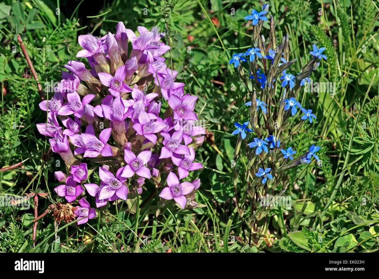 Field Gentian / felwort (Gentianella campestris) and Spring gentian (Gentiana verna) in flower - Stock Image