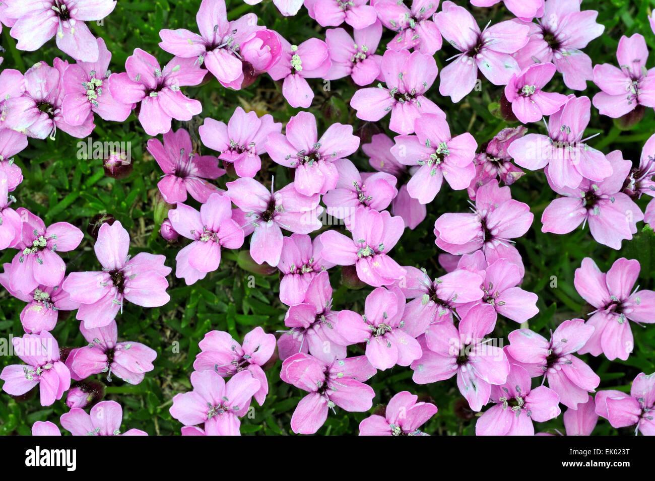 Cushion pink silene acaulis stock photos cushion pink silene moss campion cushion pink silene acaulis in flower stock image mightylinksfo