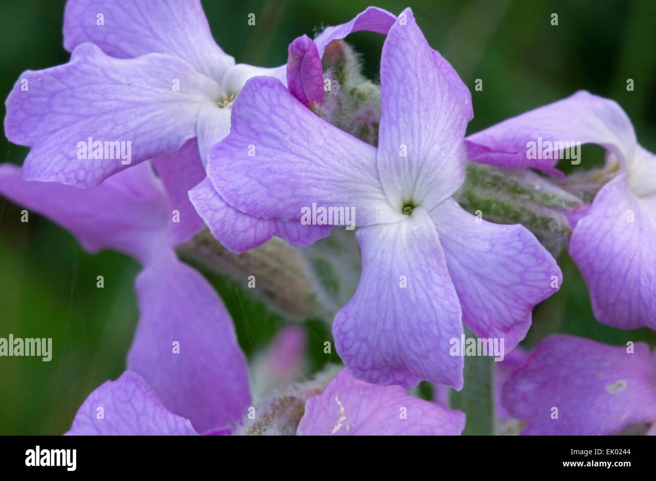Sea stock (Matthiola sinuata / Cheiranthus muricatus) in flower - Stock Image