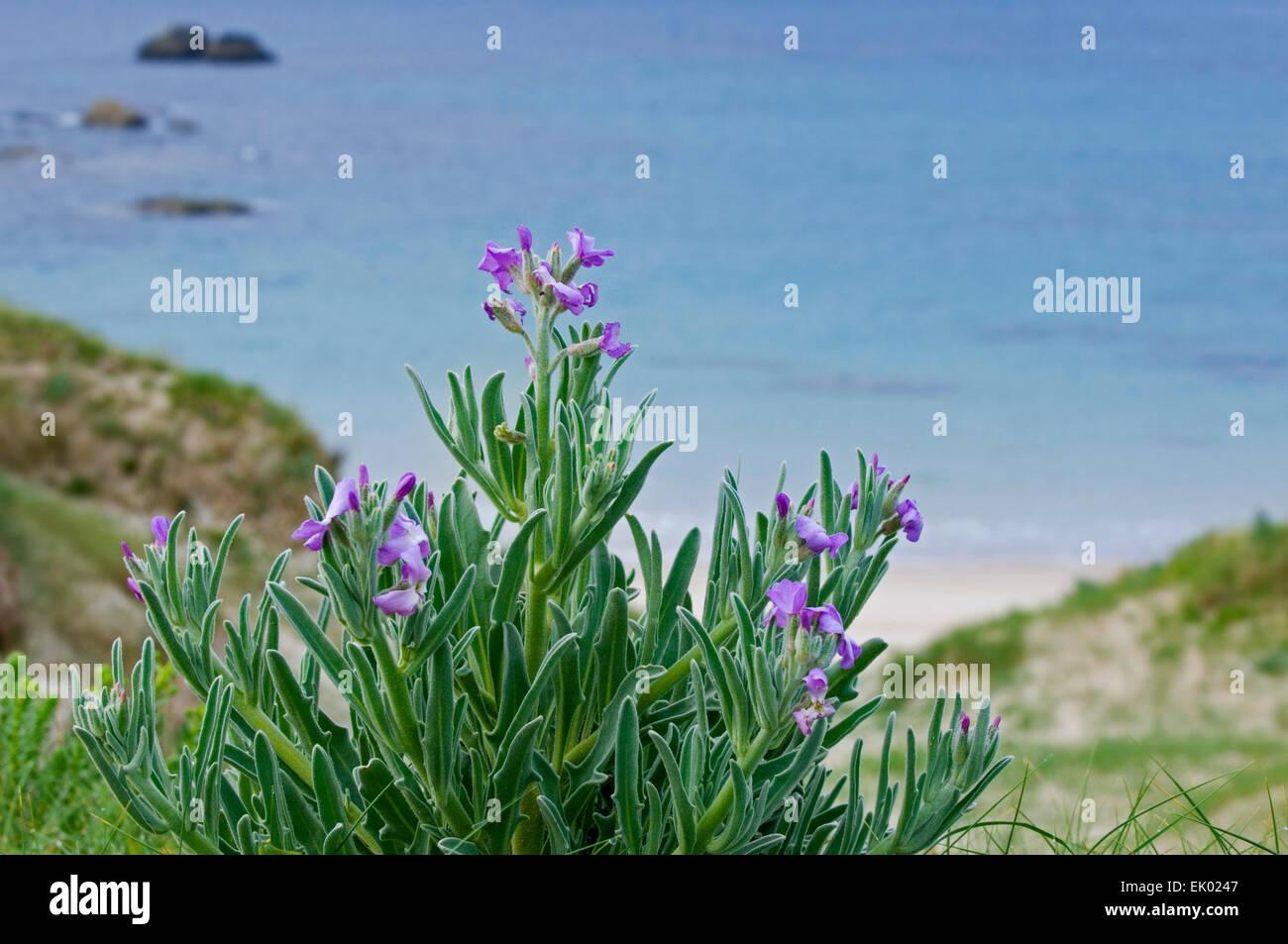 Sea stock (Matthiola sinuata / Cheiranthus muricatus) in flower in the dunes along the coast - Stock Image