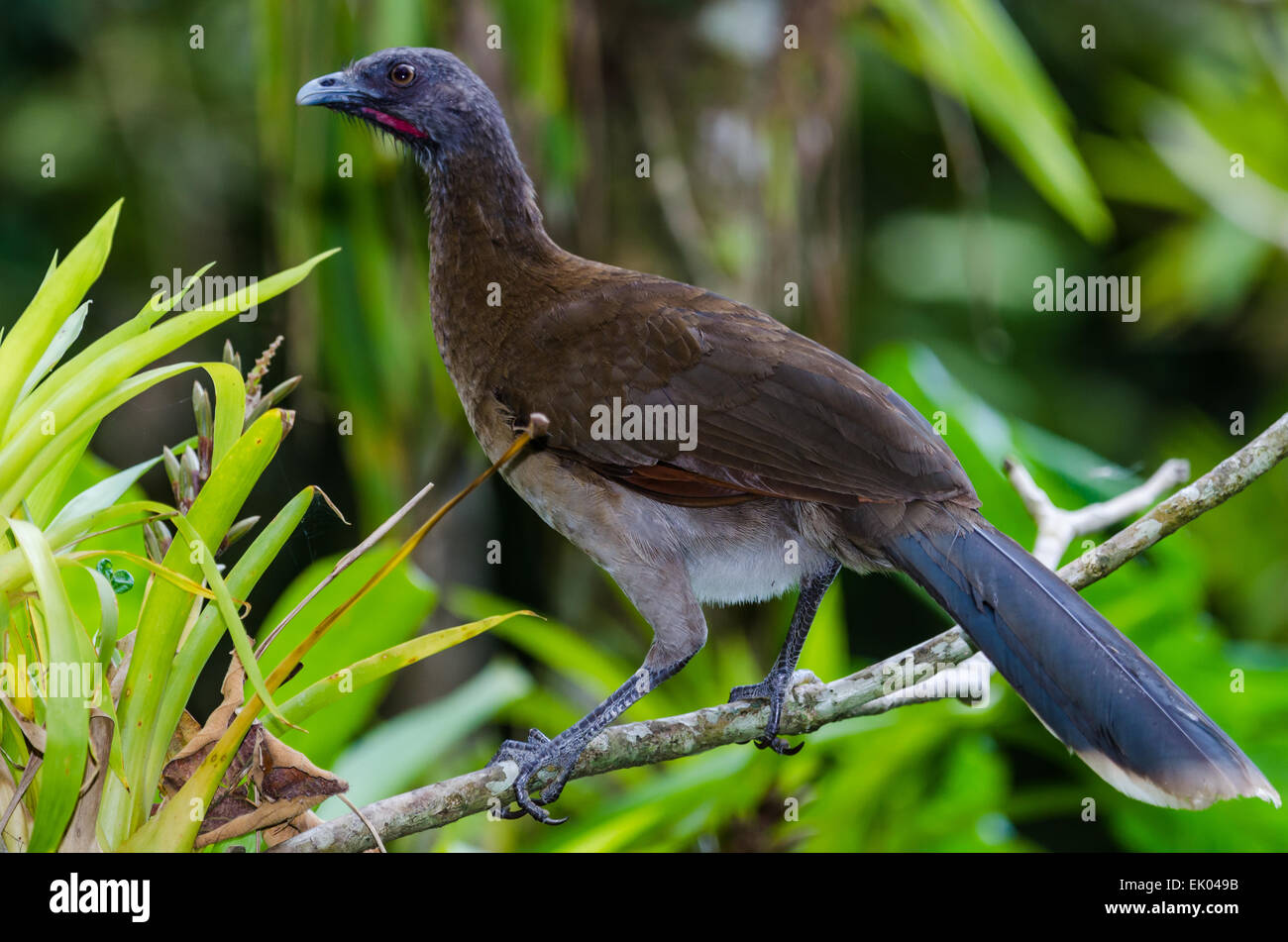 A Grey-headed Chachalaca (Ortalis cinereiceps) - Stock Image