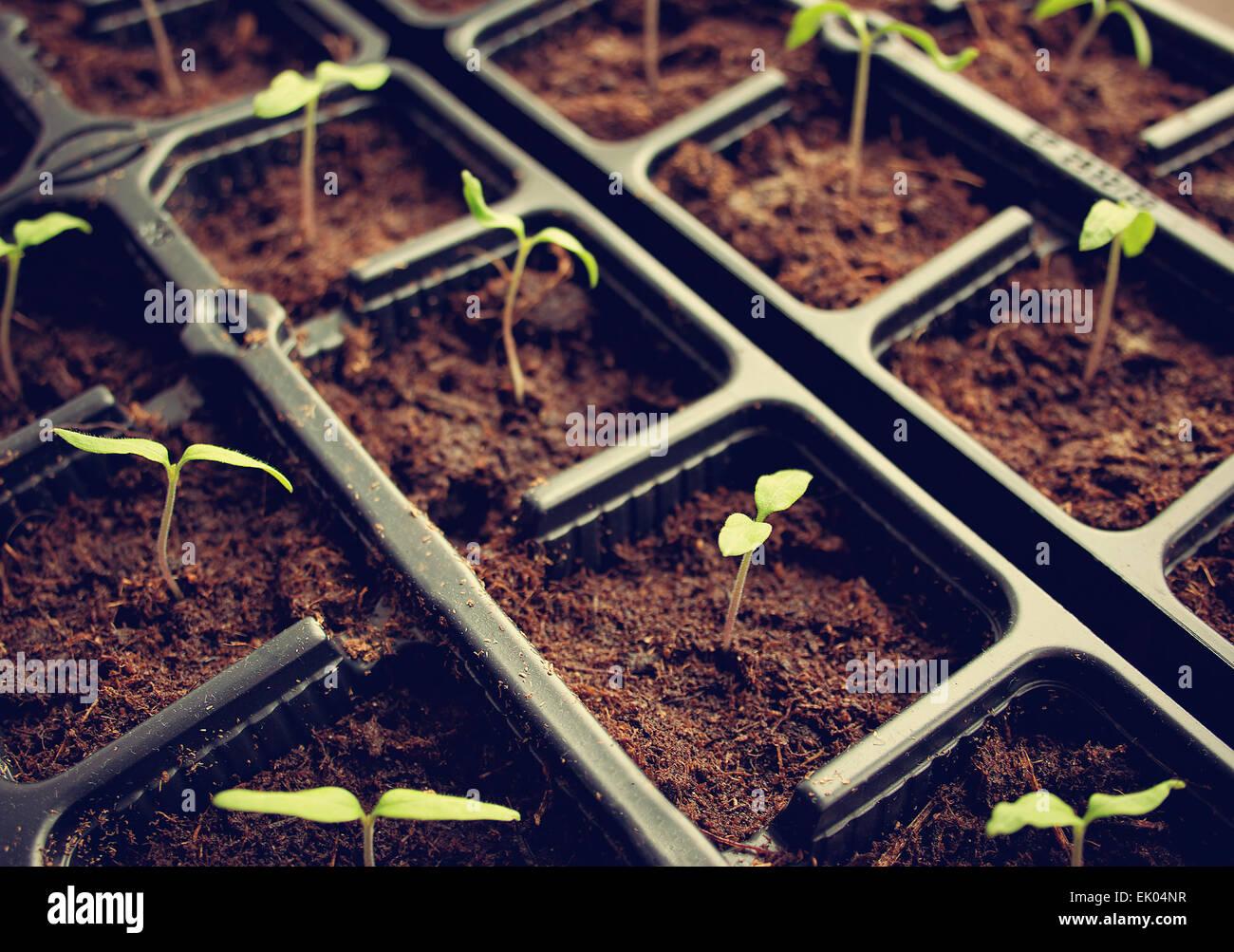 tomatoe seedlings - Stock Image