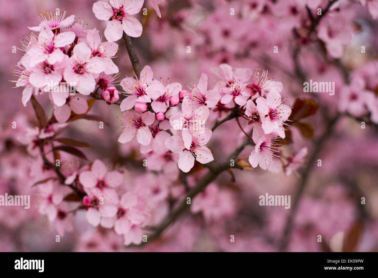 Close Up Of Wild Cherry Flowers Blossomerry Tree Blooming In