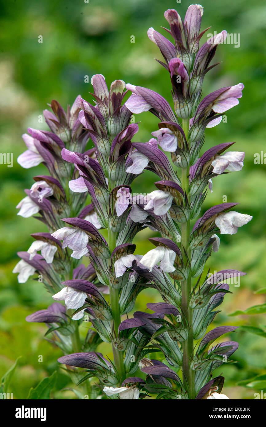 Acanthus Mollis Stock Photos Acanthus Mollis Stock Images Alamy
