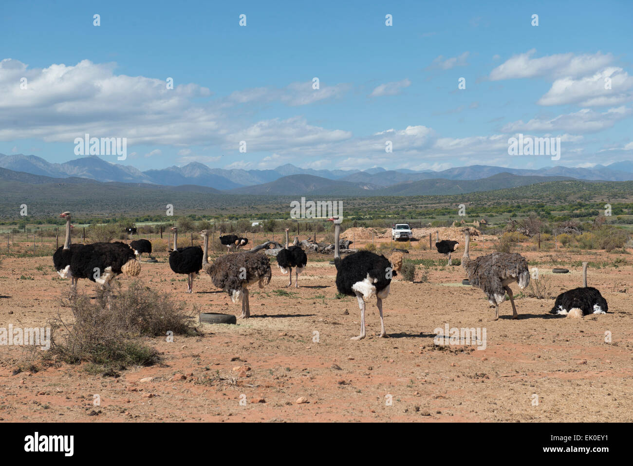 Ostriches (Struthio camelus) farmed for their meat and feathers on a commercial farm in Oudtshoorn, Western Cape, - Stock Image