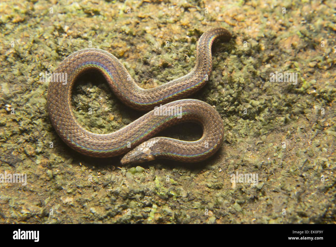 Captains wood snake, Xylophis captaini, Colubridae, Neyyar wildlife sanctuary, Kerala. India - Stock Image