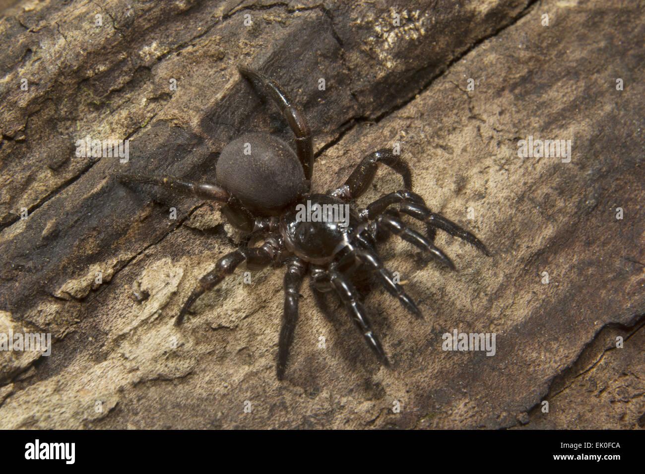 Trap door spider  Idiops sp Idiopidae Eravikulam National Park Kerala. India & Trap Door Spider Stock Photos \u0026 Trap Door Spider Stock Images - Alamy