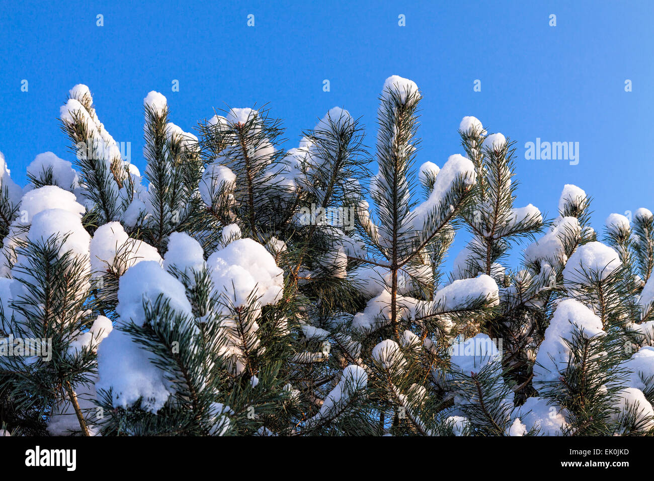 Conifer in winter with snow and blue sky - Stock Image
