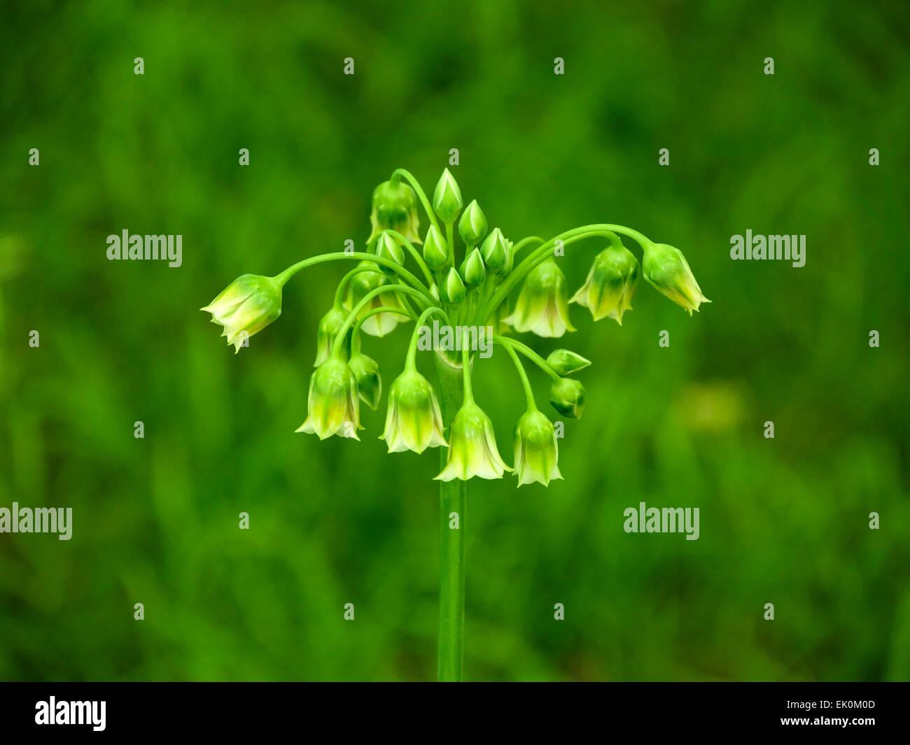 Green Allium flowers and buds, Nectaroscordum Siculum - Stock Image