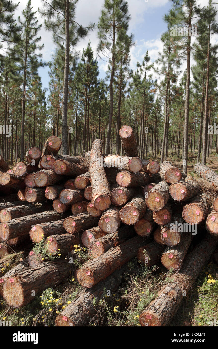 nobody, no one, no-one, outdoors, outside, day, pile, conifer, pinus, trees, logs, felled, chopped, natural resources, - Stock Image
