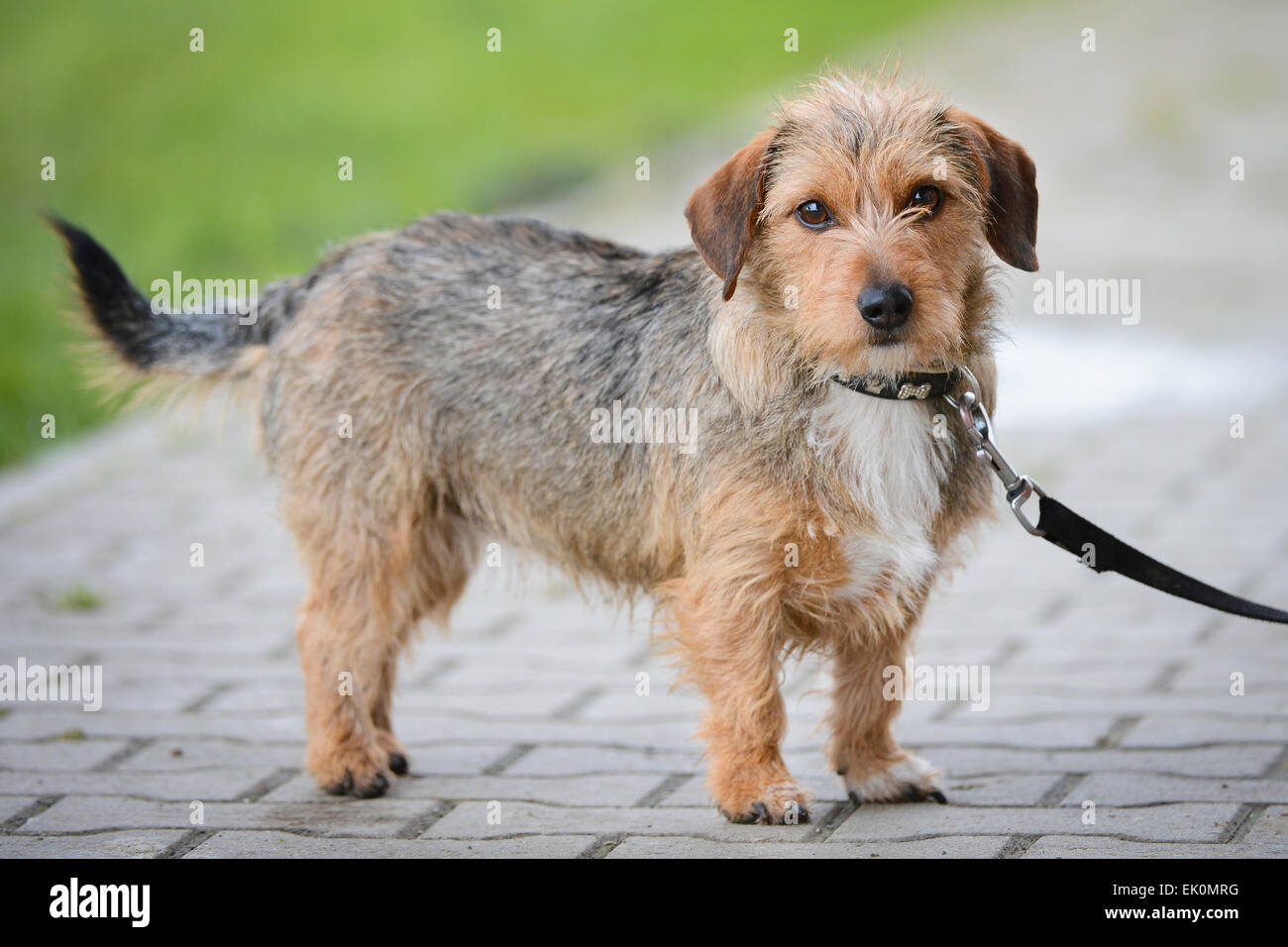Wire Haired Terrier : Wire haired terrier dog on lead stock photo alamy