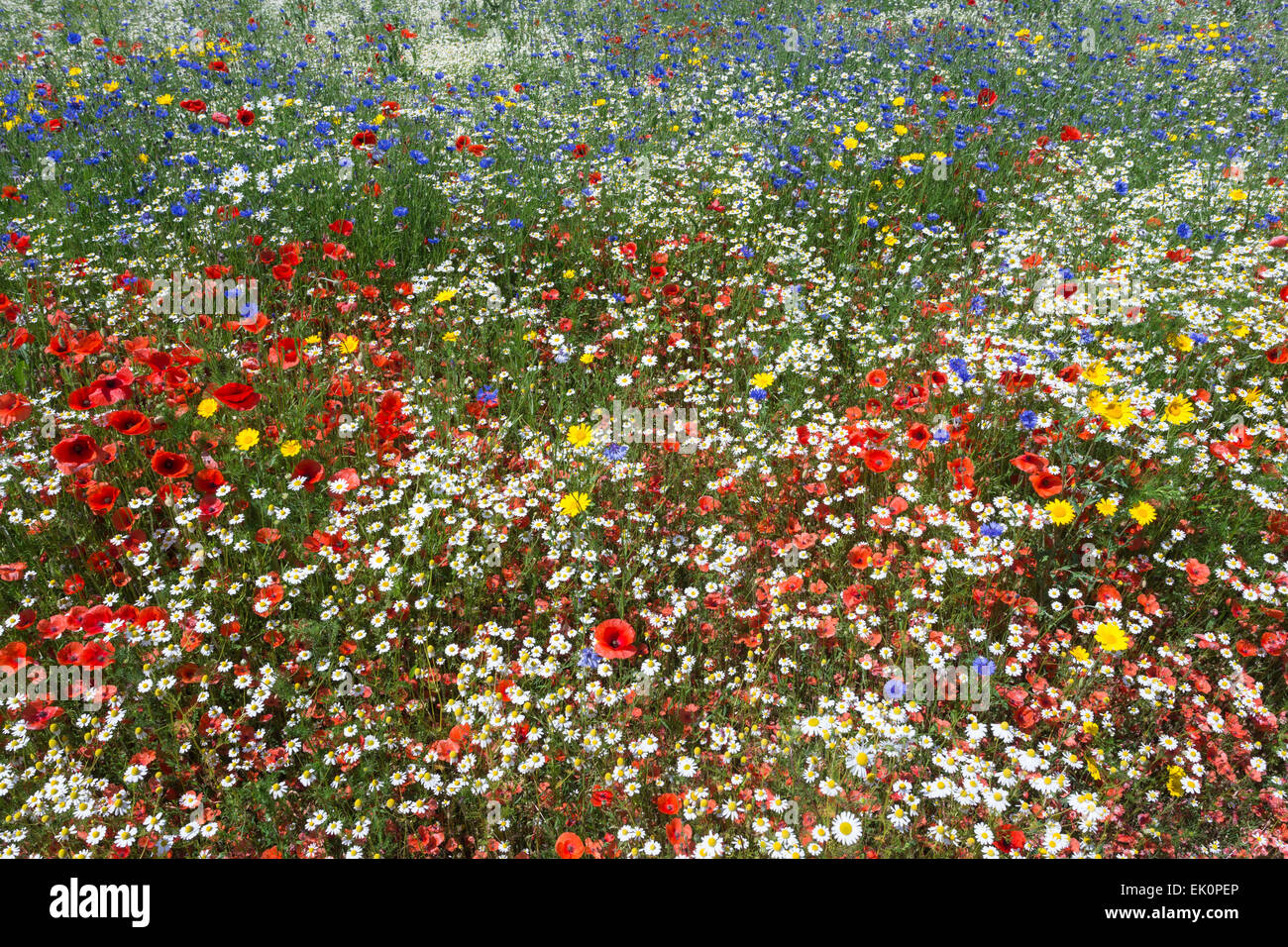 Wildflowers, including poppies (Papaver rhoeas), being grown for seed by Landlife, Fir Tree Farm, Merseyside - Stock Image