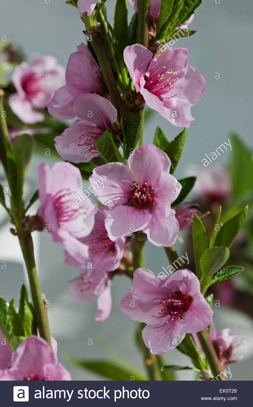 Prunus persica 'Duke of York' fan trained peach - Stock Image