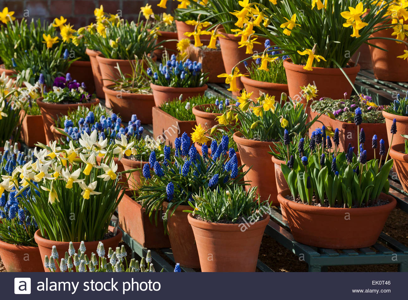 Spring bulbs in terracotta clay pots - Stock Image